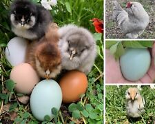 6+ Pure Lavender ameraucana fertile hatching egg (small chance of Easter Eggers)
