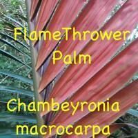 ~FLAMETHROWER PALM~ Chambeyronia macrocarpa Red Leaf Palm 10 Rare Seeds