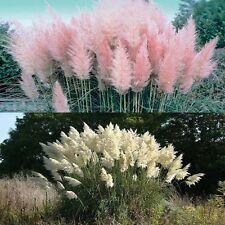 pampas grass mixed Cortaderia selloana 50 seeds * Showy * Ornamental * D81
