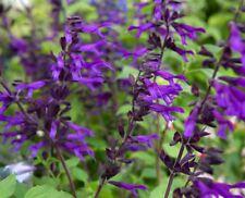 SALVIA 'Amistad' A.G.M. - Hardy Perennial Plant - ex 9cm Pot