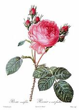 "1990 Vintage REDOUTE ROSE /""STRIPED ROSE OF FRANCE/"" COLOR Art Print Lithograph"