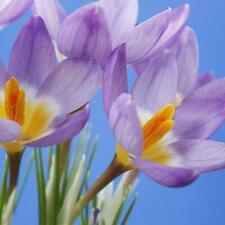 100 Stücke Krokus Samen Sativus Blumenzwiebeln Safran Beste Erhalten Blumen D6C6