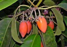 Mimusops Elengi Tree 15 Seeds, Fragrant Spanish Cherry, Indian Medlar Bakul