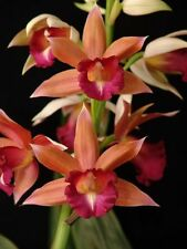 "Phaius Lady Ramona Harris, NBS 3"" potted orchid plant 621"