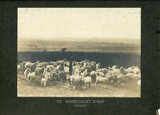 Uruguay Photograph Rambouillet Sheep c1900 J Fitz-Patrick