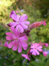 ORGANIC NORFOLK WILDFLOWER RED CAMPION COTTAGE GARDEN PLANT,SILENE DIOCA