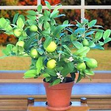 20PCS Kaffir Lime Seeds Citrus aurantifolia Seeds Home Garden Bonsai C1MY