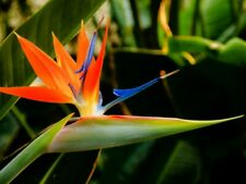Birds of Paradise (Strelitzia Reginae) 25 seeds