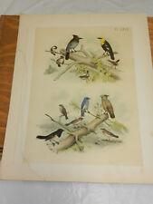 1878 Studer Color Bird Print/Titmouse,Jay,Blackb ird,Wren,Finch Waxwing,Blue Bird