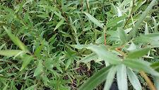HYBRID WILLOW TREE Salix - hybrid 1-2' LOT OF 10