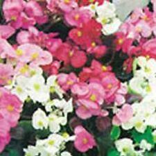 Flower - Kings Seeds - Pictorial Packet - Begonia - Sunshine Carpet