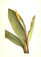 222 ~ GOLDEN CLUB NEVERWET ~ Mary Walcott 1925 Flower Botanical Floral Art Print