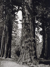 1926 Vintage CALIFORNIA Mariposa GIANT SEQUOIA Trees Landscape Photo Art ~ HOPPE