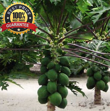30++ Fresh Thai Dwarf Papaya Fruit Seeds, Paw Paw Miniature! HOT HOT HOT...