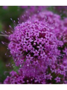 Phuopsis Stylosa 'Pretty Pink'  (Crucianella)-30 seeds