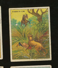 "1910 Hassan T73 Indian Life in the 60's Tobacco Card - ""Attacked by a Lion"""