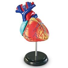 Model Heart Anatomical Human Anatomy Medical Life Size Study Organ Scientific