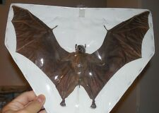 LARGE EONYCTERIS SPELAEA CAVE NECTAR REAL BAT SPREAD WINGS INDONESIA TAXIDERMY
