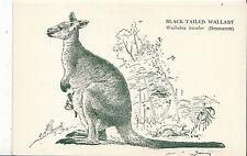 Animals Postcard - Black-Tailed Wallaby - Wallabia Bicolor - [Desmarest]   BB525