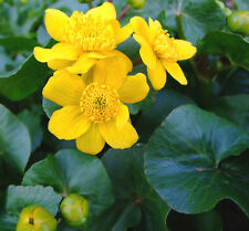 Caltha palustris (Marsh Marigold) bare root/rooted cutting marginal pond plant.