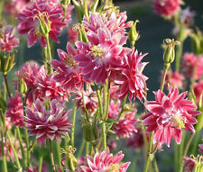 COLUMBINE NORA BARLOW PINK Aquilegia Vulgaris - 500 Bulk Seeds