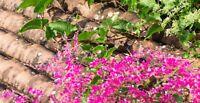 KORALLENWEIN rankt sich gerne an Mauern entlang Blühpflanze ein Augenschmaus.