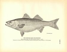 Rare 1884 Antique Fish Print ~ The Striped Bass or Rockfish