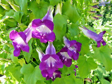 10 Mixed Dragonsnap Vine Asarina Scandens Climbing Snapdragon Flower Seeds +Gift
