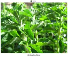Stevia rebaudiana - Stevia - 1500 Seeds - Medicinal - Bio