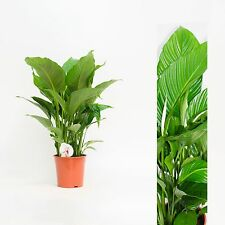 1 XL Spathiphyllum 100 cm Sheet A Retirement Journal house plant