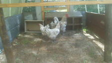 Blue And Splash Jersey Giant Chicken Hatching Eggs 6 Eggs