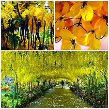 10 semillas de Cassia fístula,el árbol de lluvia de oro,árbol de lluvia de oro S