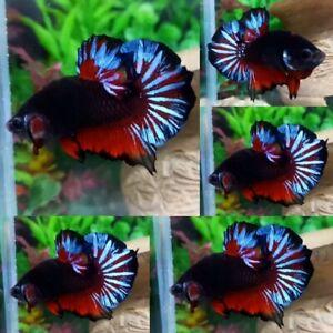 Black Devil Halfmoon Plakat Male - IMPORT LIVE BETTA FISH FROM THAILAND