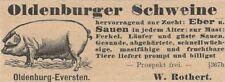 35/315 ANZEIGE AUS EINER ZEITUNG 1898 OLDENBURGER SCHWEINE - EVERSTEN ROTHERT