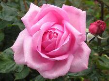 MILLIE - 4lt Potted Hybrid Tea Garden Bush Rose - Gorgeous Pink, Highly Fragrant