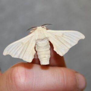 LIVE SILKWORM KIT - Raise your own live silkworms silk moth bird reptile textile