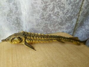 Vintage Taxidermy hunting taxidermie fish Sturgeon