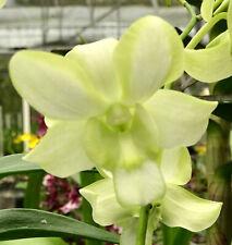 Orchid plant Den Edfrans Gem 'Green Flash' Bloom Size, orchid plant