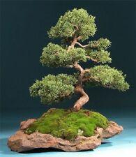 """1 (5""""+) Ficus Salicifolia"""