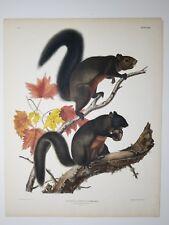Audubon. Quadrupeds. Imperial Folio. Long Haired Squirrel. 1844.