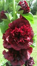 Double Dark Red Hollyhock Seeds Perennial Giant Flower Garden   20+ FRESH seeds