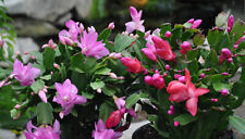 4 Christmas Cactus Cuttings Mix Colors