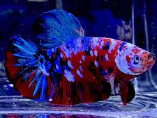 New listing Live Betta Fish Male Import Giant Blue, Red Avatar Halfmoon Plakat Betta #692