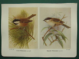 VINTAGE BIRD PRINT ~ COAL TITMOUSE ~ MARSH TITMOUSE