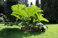 Garten Pflanzen Samen winterharte Zierpflanze Saatgut Staude MAMMUTBLATT