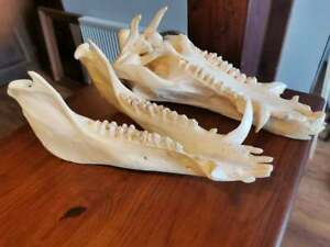 European Wild Boar Skull (Sus Scrofa) Head Home Decor Taxidermy Shamanic Healing