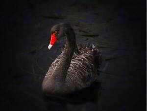 NATURE BIRD Black Swan Lake Pupuke BEAUTIFUL POSTER ART PRINT PICTURE BB1304B