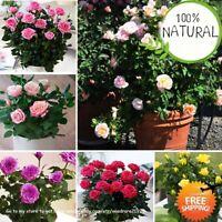 Rainbow Rose Tree Seeds Plants And Mini Bonsai Flower Balcony Rare 100pcs/bag