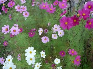 Cosmos/Crepe Myrtle Fresh, Reliable & Viable Seeds