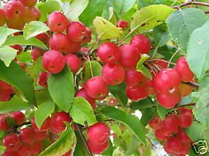 Zierapfel Malus Hybride 'Red Sentinel' Frühlingsblüher Fruchtgehölz 80-100cm